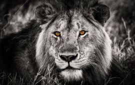 Lion Hd Wallpapers Free Wallpaper Downloads Lion Hd Desktop Wallpapers Page 1 Black And White Lion Lion Eyes Colorful Lion