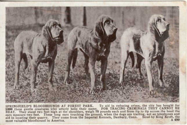 Animals Dogs Bloodhounds At Forest Park Springfield Ma 1910