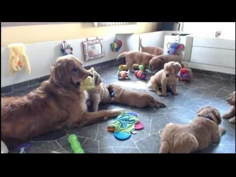 Golden Retriever Puppy Cam Live Stream Youtube Puppy Litter