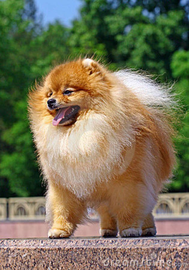Love This Pomeranian Dogs Pinterest Pomeranian Dogs And