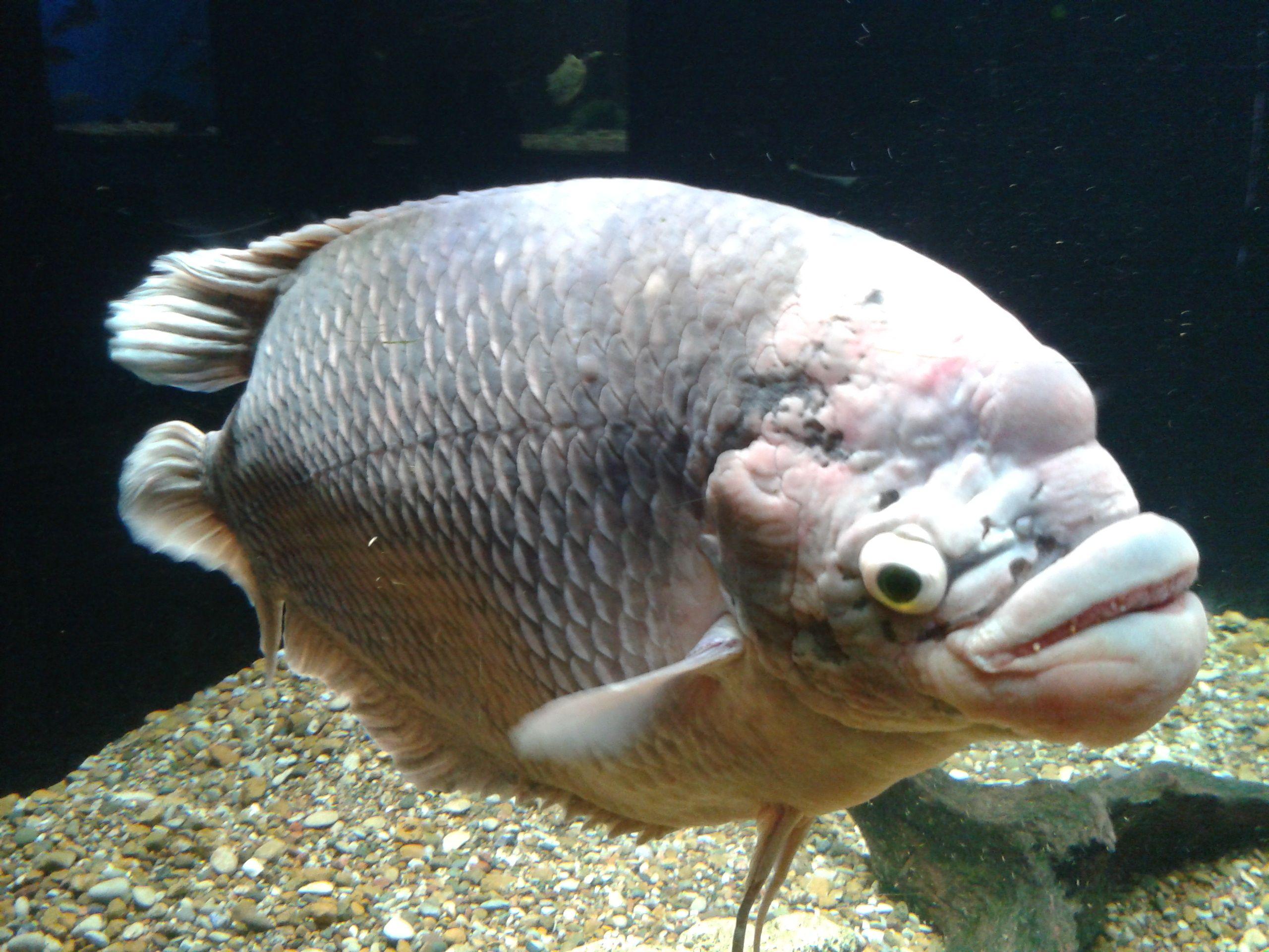 giant gourami at the toledo zoo aquarium places i ve been giant gourami at the toledo zoo aquarium
