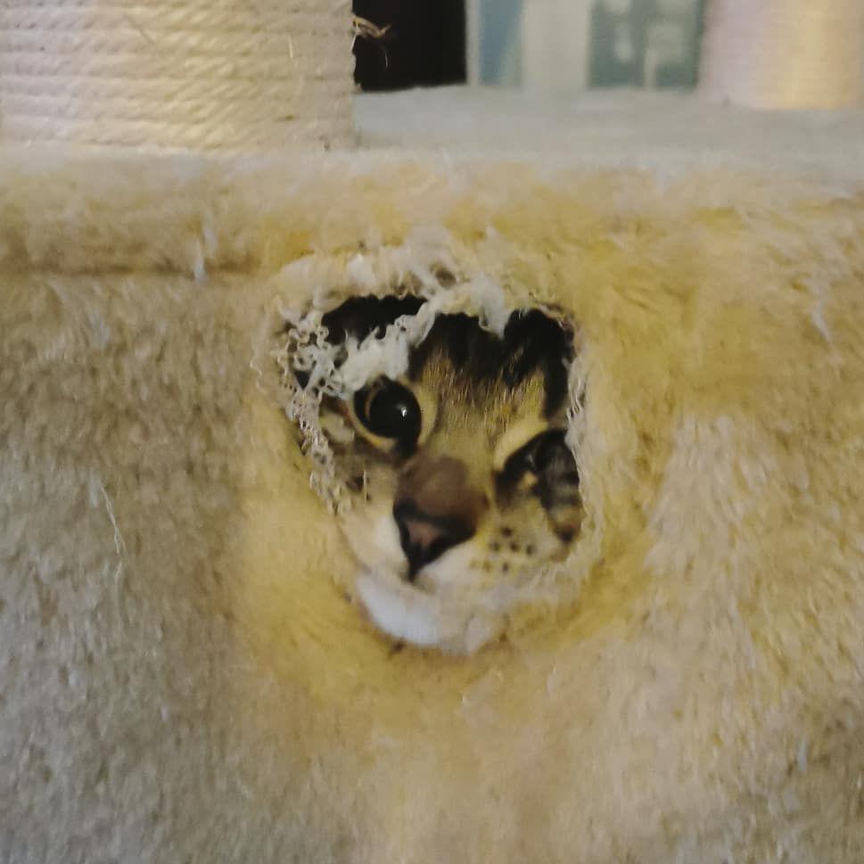 Milo Bellamy Cat Cats Kitten Bengalcatsclub Kittens Weirdcats Lovecats Savannahcats Funnycats Photooftheda Crazy Cats Cat Day Weird Animals