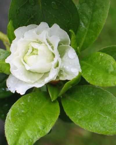 White Rosebud Rose Buds Trees To Plant Garden Nursery