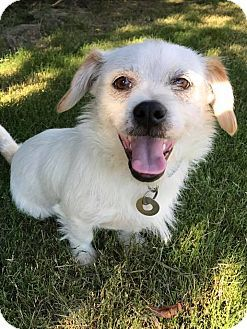 Hagerstown Md Shih Tzu Wirehaired Fox Terrier Mix Meet Arthur