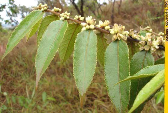 5 Guacatonga Folhas De Plantas Ervas Medicinais Plantas