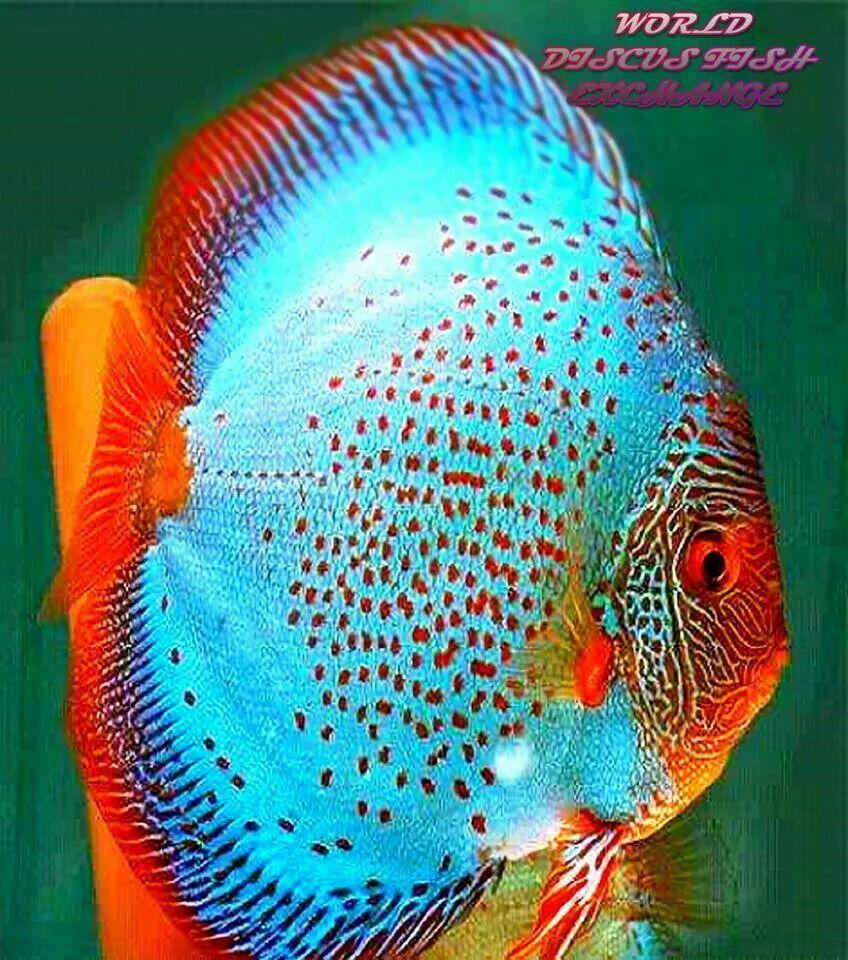 Fish Photography Tropical Fish Aquarium Discus Fish Aquarium Fish