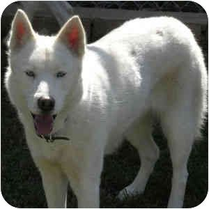 Pictures Of Aspen And Denver A Husky For Adoption In Newbury Park Ca Who Needs A Loving Home Rescued From A Puppy Mill With Images Kitten Adoption Husky Adoption Pets
