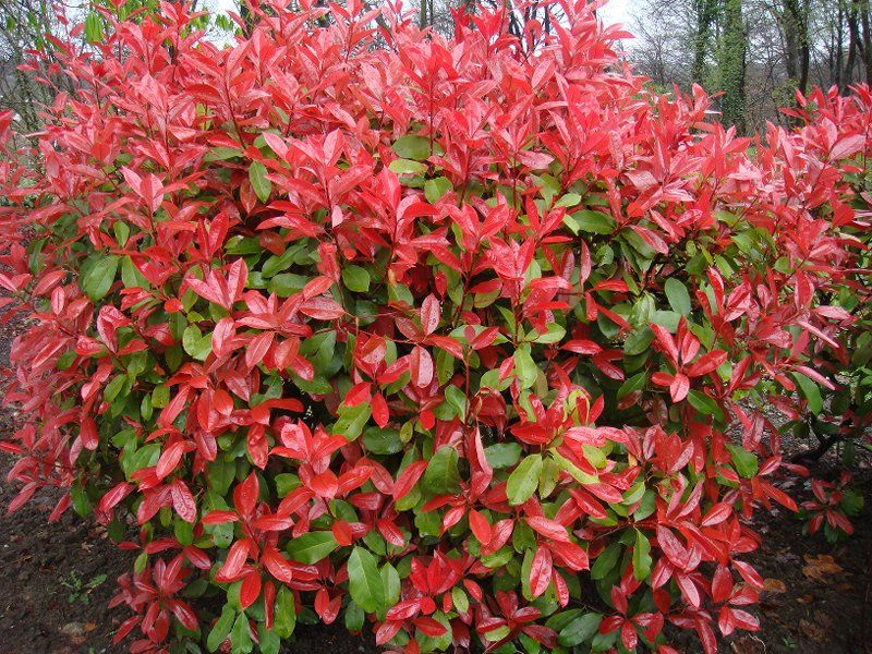 photinia-fraseri | landscaping | pinterest | robins, red and