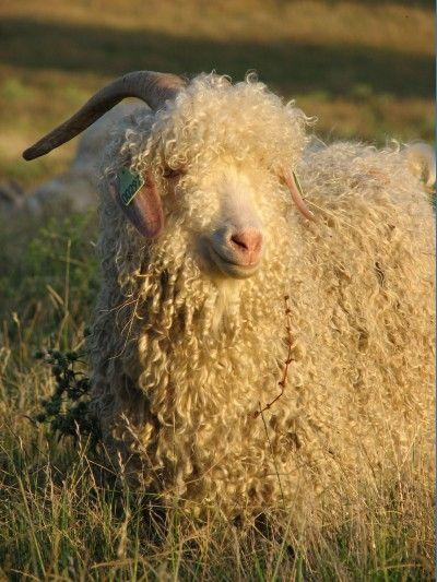 C est MA chèvre   devenez éleveur d une chèvre Angora pour 1 année ... 00e202d7ae6