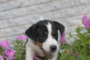 Jack Russell Puppies For Sale In Lebanon Pennsylvania Http Www