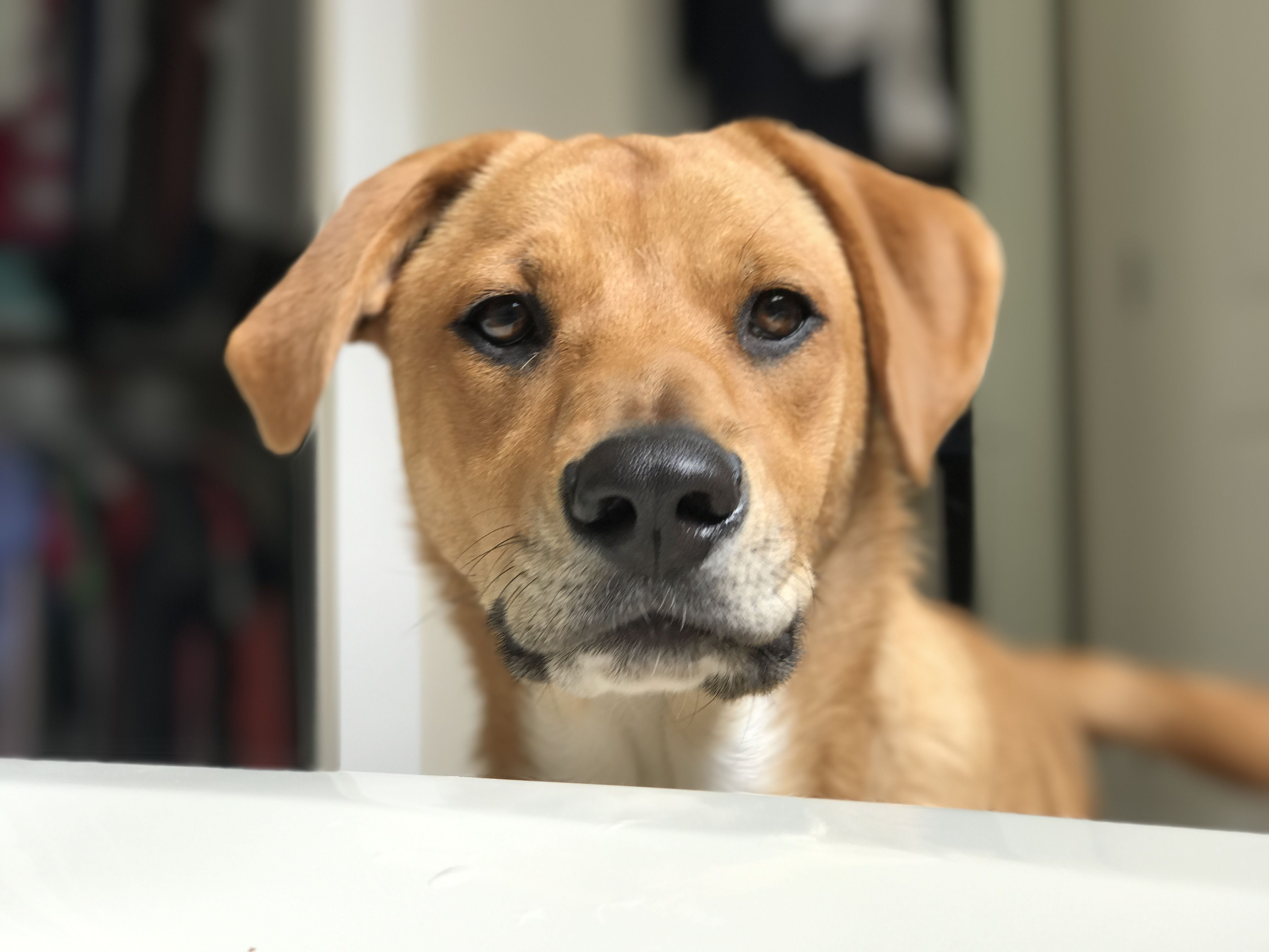 Labrador Retriever dog for Adoption in Bellevue, WA. ADN