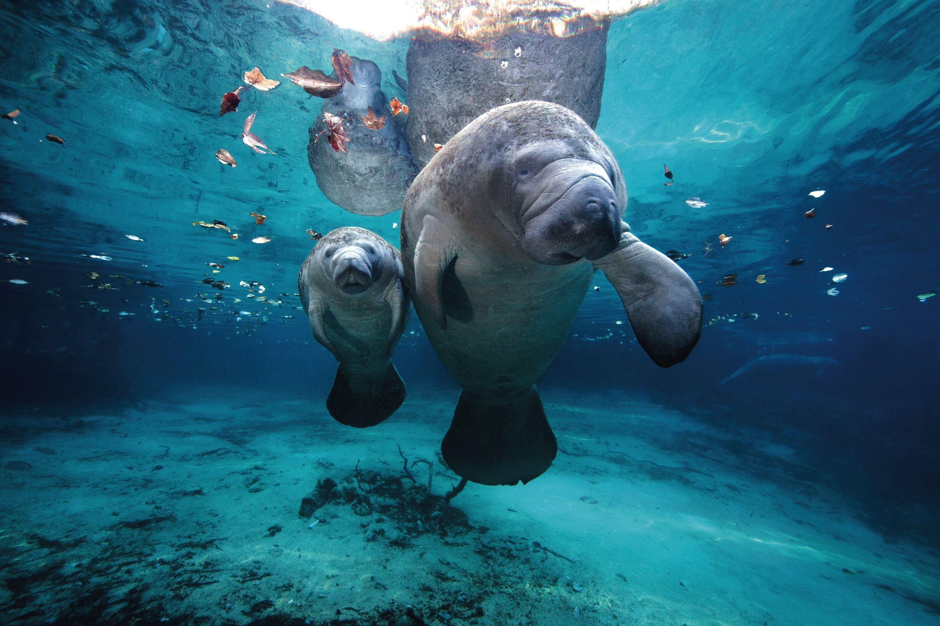 Manatee mama and pup in the Crystal River Florida http