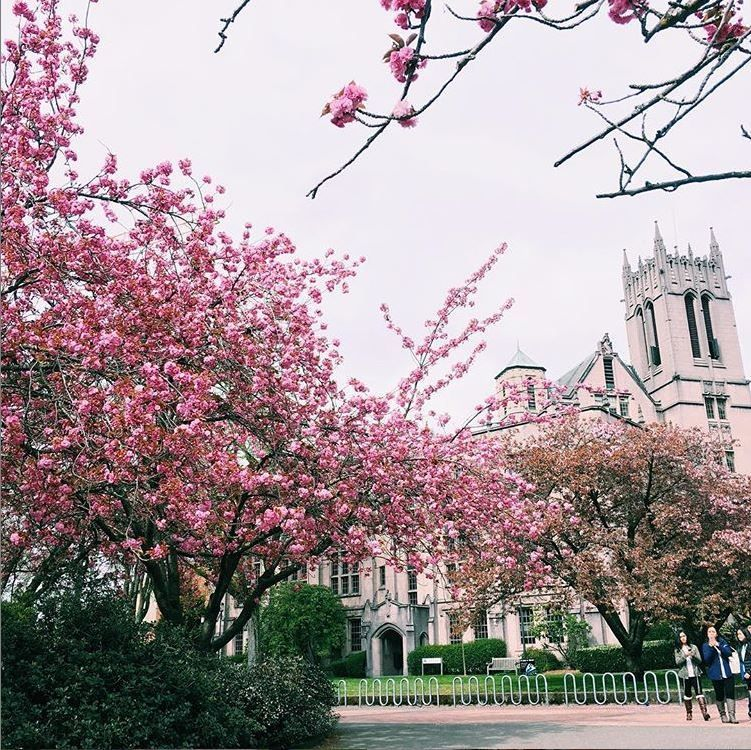 Best Of Seattle S Cherry Blossoms Northwest Blonde Japanese Cherry Tree Cherry Blossom Season Japanese Garden Plants