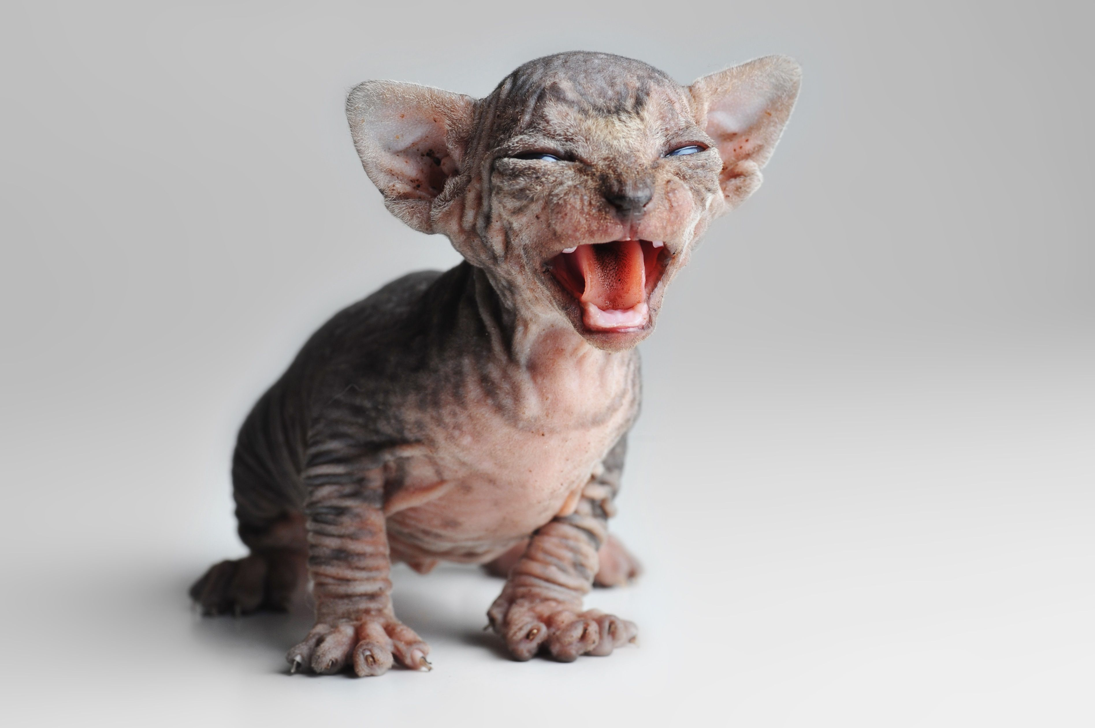 Pin by Amy Shojai, on Kittens Baby cats, Dog shedding, Cats