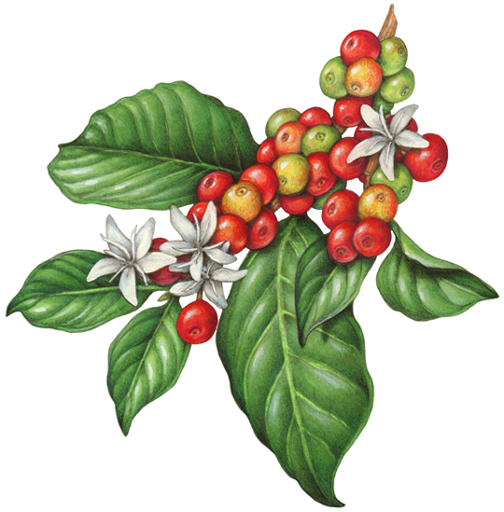 Botanical Illustration Of A Branch Of A Coffee Plant With Leaves Flowers And Berries Coffee Flower Coffee Plant Coffee Painting