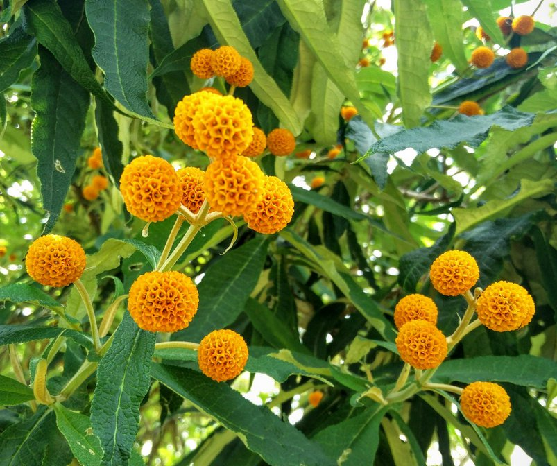 Buddleia Globosa Chilean Orange Ball Tree Orange Flowering Plants Fragrant Flowers Flowering Trees