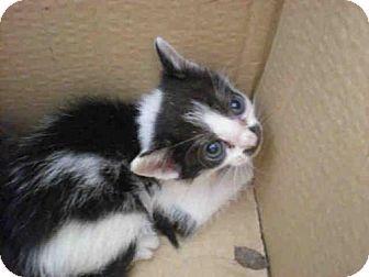 A751624 Urgent Austin Animal Center In Austin Tx Adopt Or Foster Male Domestic Mediumhair Kitten Kitten Adoption Cat Adoption Saving Cat