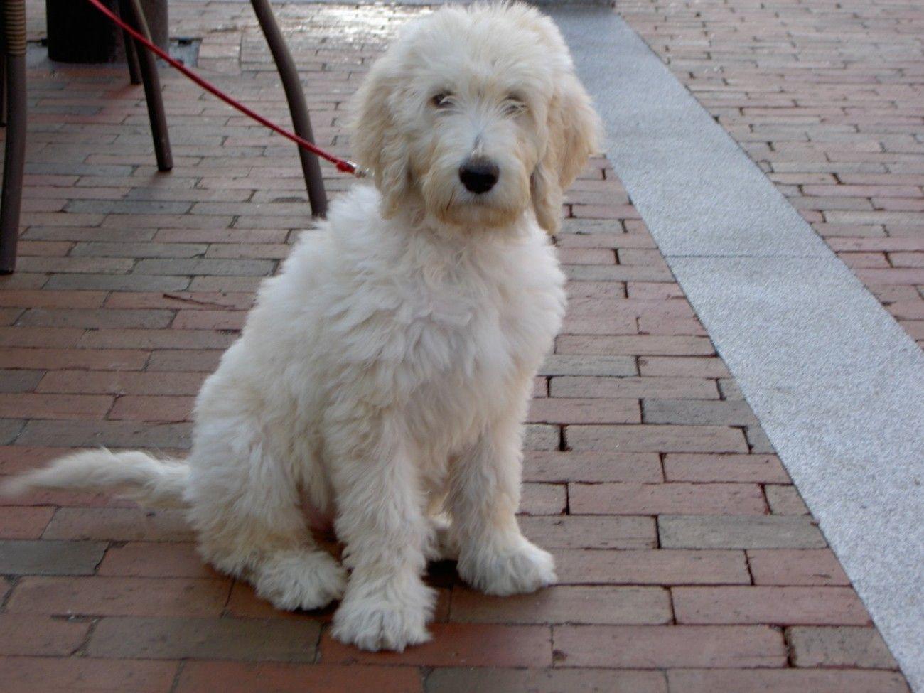 White Goldendoodle Dog | Animals | White goldendoodle