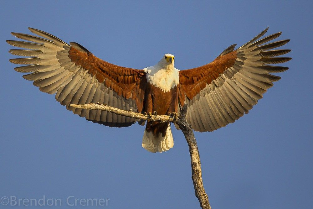 Malawi National Animal African Fish Eagle Photography Tours Beautiful Birds National Animal