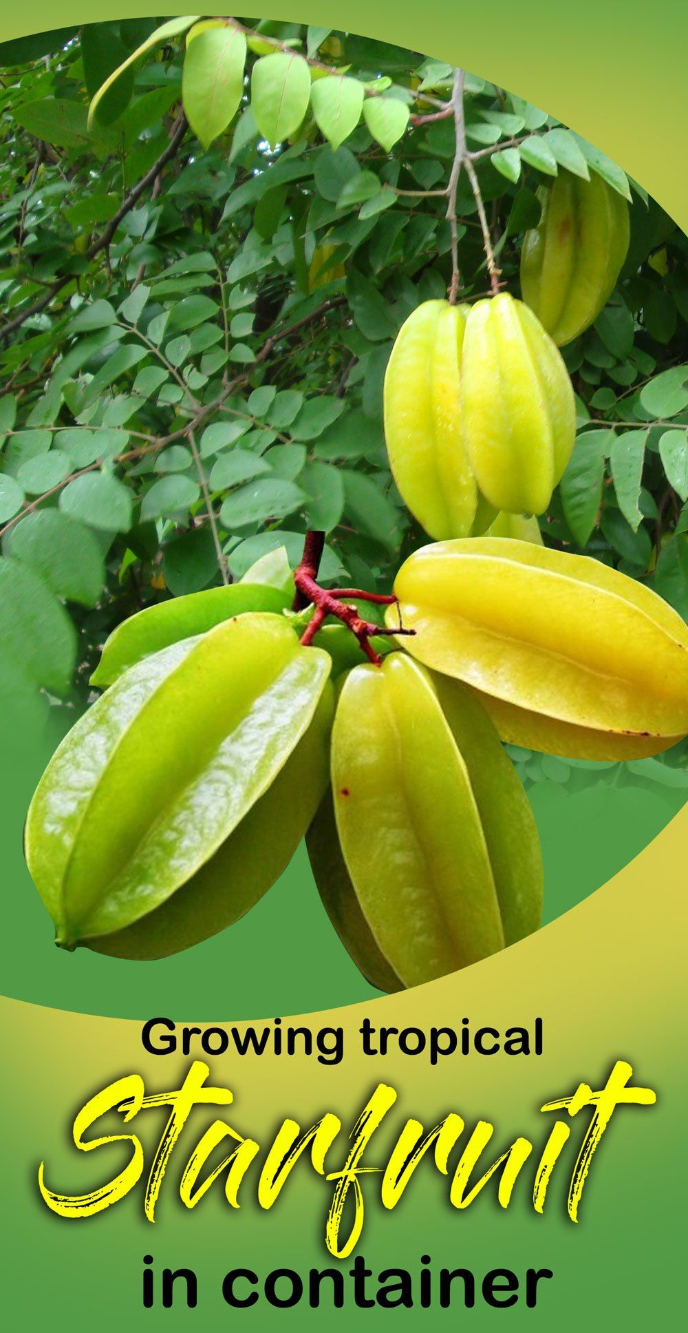 Growing Star Fruit How To Grow Star Fruit Tree From Seed Carambola Fruit Container Gardening Vegetables Container Gardening Flowers Growing Fruit Trees