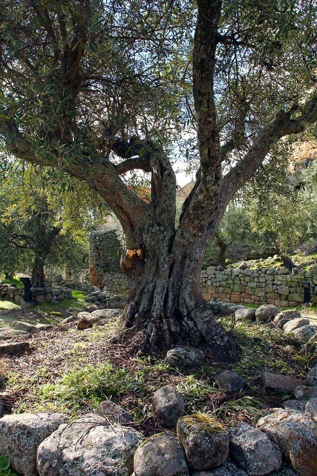 Olive tree in Marialva, Portugal