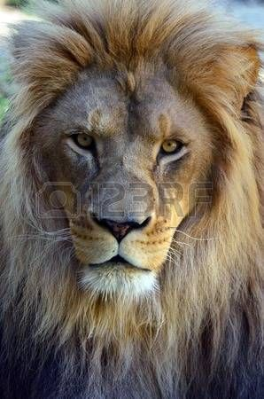 male lion: Lion face (front look close up) in its natural environment.