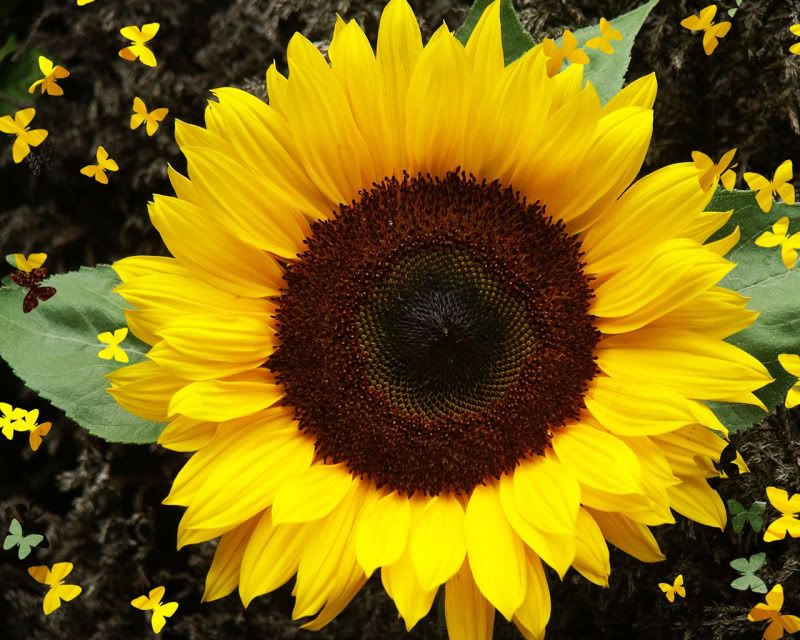 Sunflower Sunflower Flower Sunflower Pictures Sunflower Images