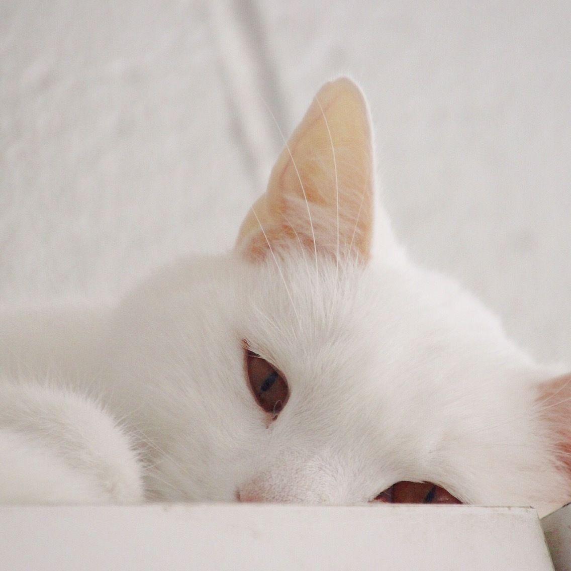 Adopt Malchi On Short Hair Cats Humane Society Domestic Short Hair