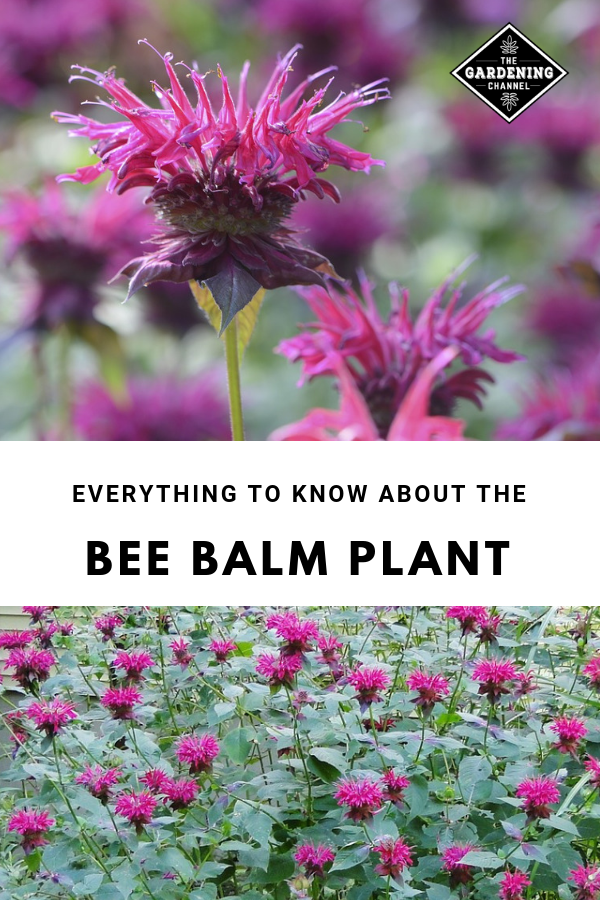 Photo of What You Need to Know About the Bee Balm Plant – Gardening Channel