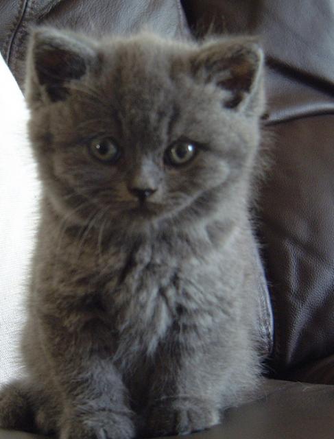 Long Haired British Blue Kitten British Blue Kitten British Blue Cat Kitten