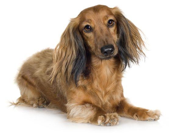 Long Haired Dachshund Dachshund Dog Dachshund Long Haired