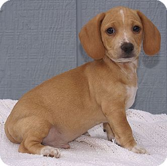 Staunton Va Beagle Dachshund Mix Meet Major A Puppy For Adoption Http Www Adoptapet Com Pet 12247464 Staunton Virgin Beagle Adoptable Beagle Beagle Mix