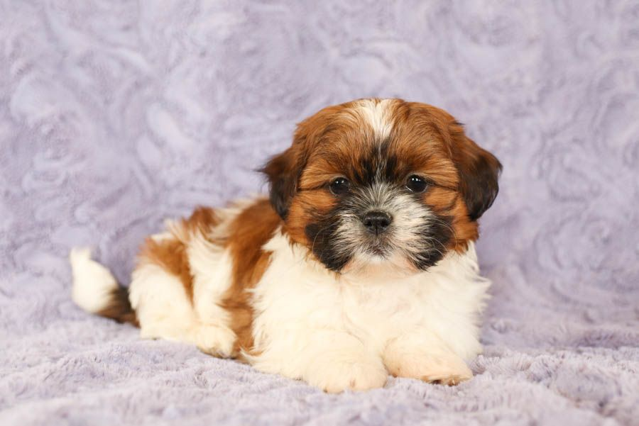 Pin By Rashemaporter On Whatever In 2020 Shih Tzu Puppy Puppies For Sale Shih Tzu