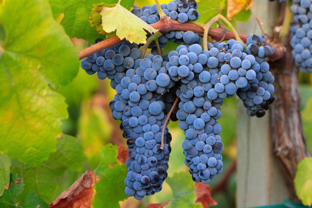 La uva Merlot (con imágenes)   Imagenes de vinos, Recetas de ...