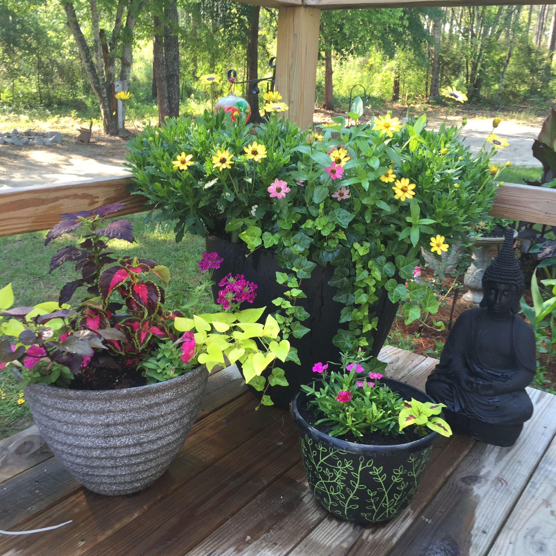 African daisies, Profusion series zinnias, coleus, ivy, dianthus, sweet potato vine