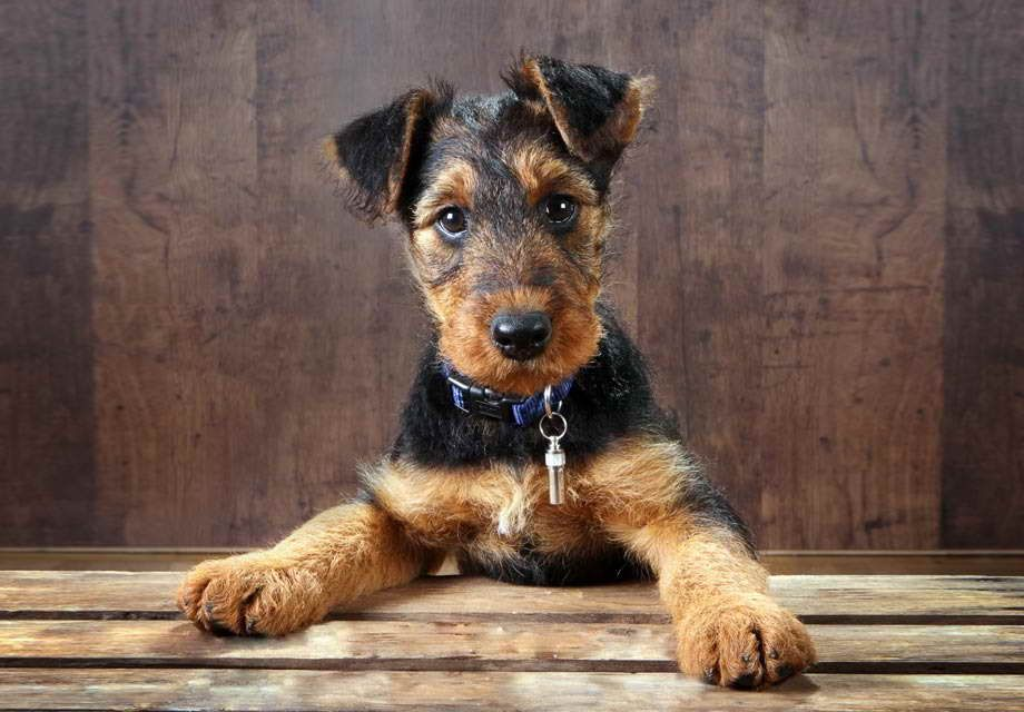 Airedale Terrier For Sale Near Me Airedale Terrier Puppies Airedale Terrier Terrier Dog Breeds
