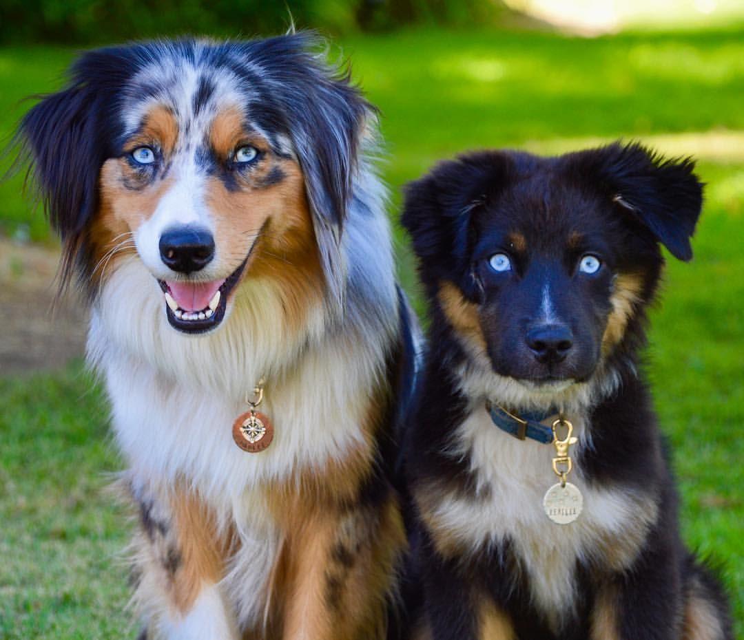 Instagram Harlee And Bentlee Aussies Australian Shepherds Australian Shepherd Aussie Puppies Puppy Puppie Australian Shepherd Animals And Pets Dogs