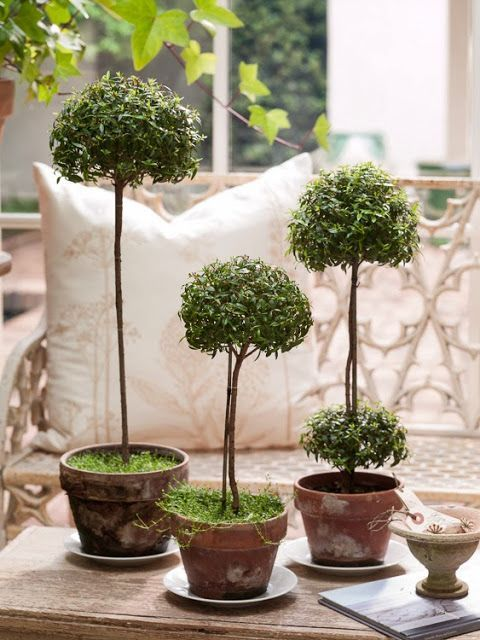 I love the rustic pots and yet the formality of a topiary. You can do this with rosemary, or lavender to add a 4th dimension of color, shape,form and fragrance.  These plants are very easy to train and grow into this form.