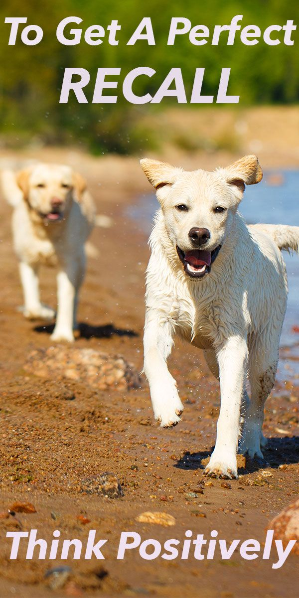 How To Correct A Dog That Ignores The Recall Dog Training