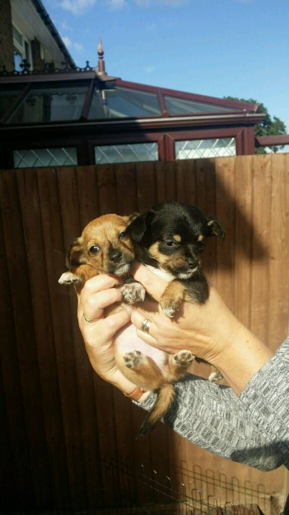 Jack Dash Puppies In Maidstone Kent Gumtree Puppies Doggy Jack Russell