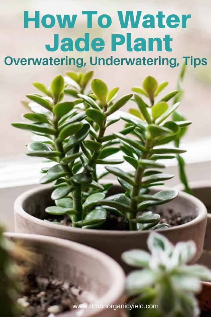 How To Water Jade Plant? Overwatering Or Underwatering Tips