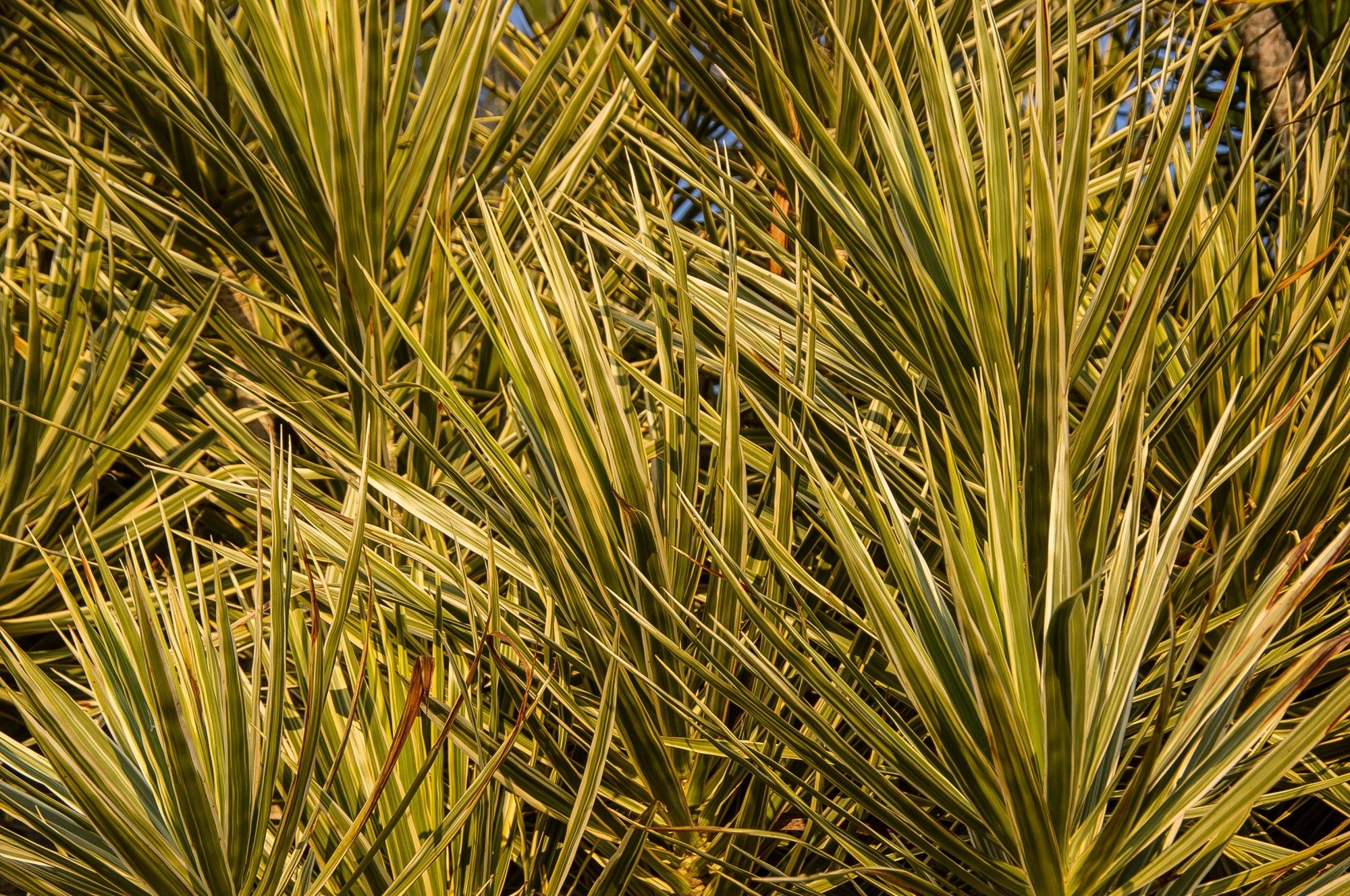 dracaena plant care tips