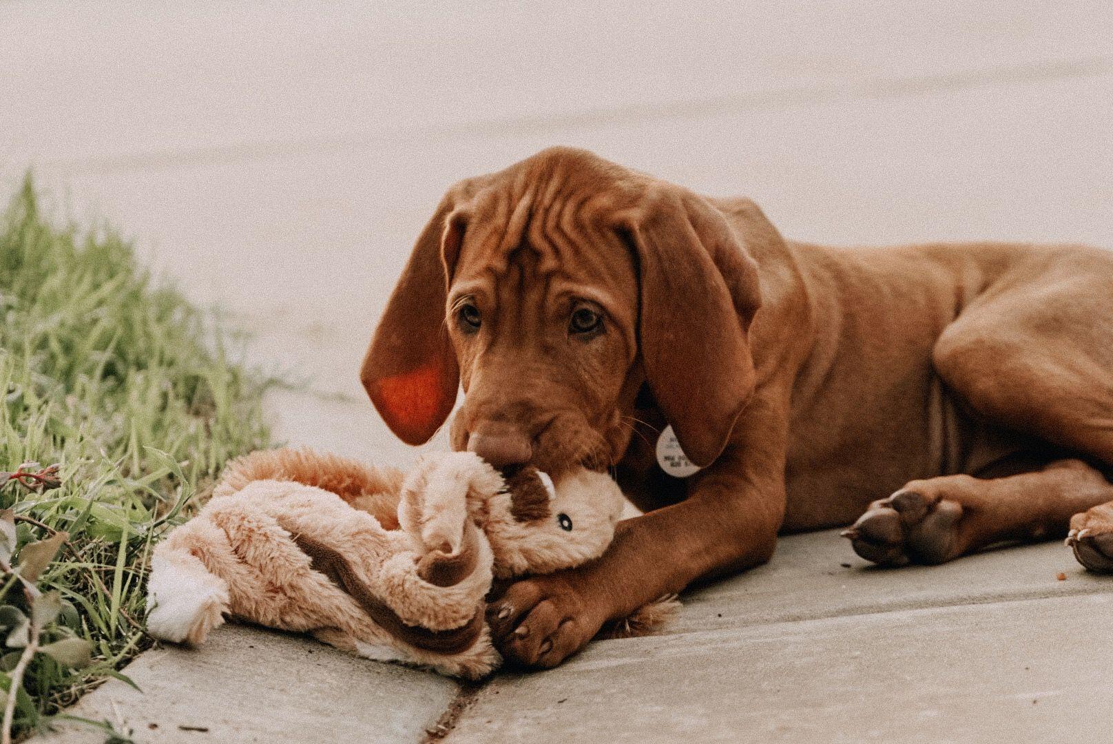 Vizsla Puppy Gesunde Hunde Vizsla Hunde