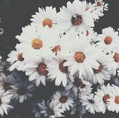 wallpaper daisies | Tumblr