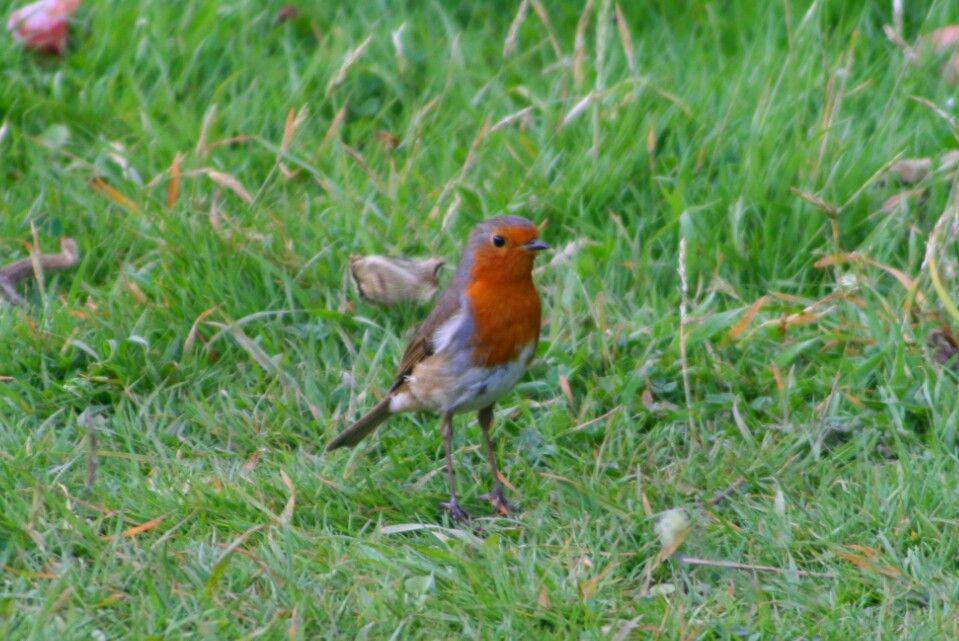 Mr Robin