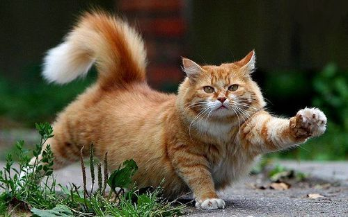 Oh my....a stretching, sweet,  chubby tomcat.