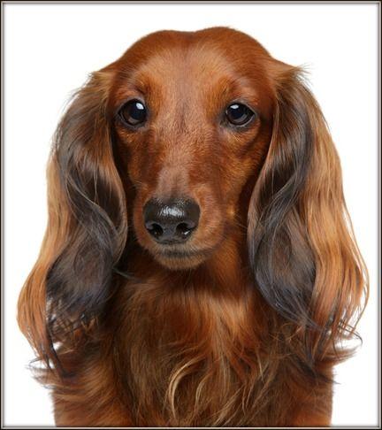 Long Haired Dachshund Long Haired Dachshund Dachshund