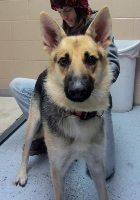 Meet Sable A Petfinder Adoptable German Shepherd Dog Dog Denver