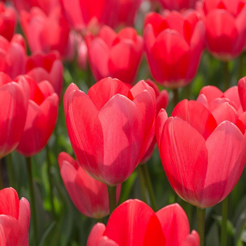 Tulip 'Cosmopolitan' White flower farm, Tulips, Planting