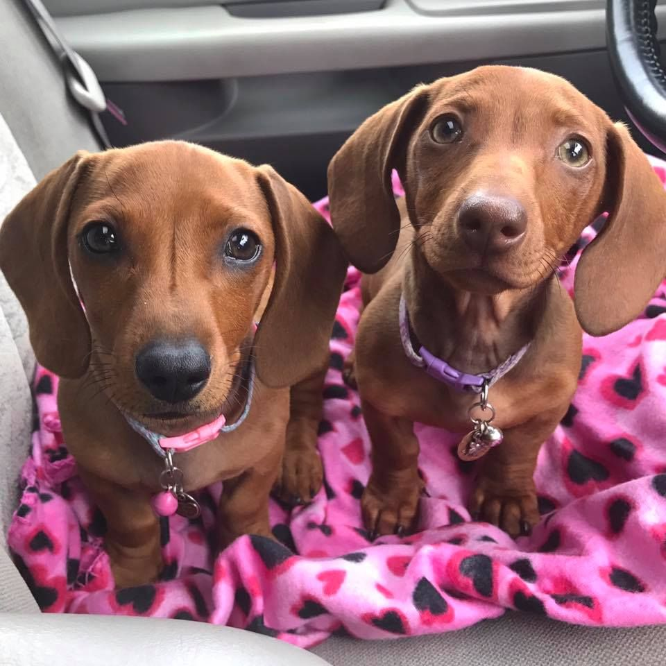 Our First Ride In The Car Short Haired Red Mini Dachshund Puppies